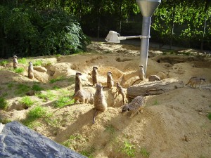 Erdmännchen im Zoo Köln, 20.9.2010