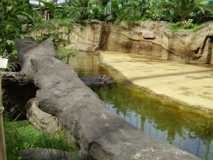 Flusspferde im Hippodrom