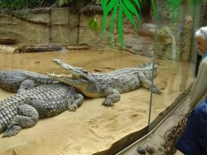 Krokodile im Hippodrom, Zoo Köln, 20.9.2010